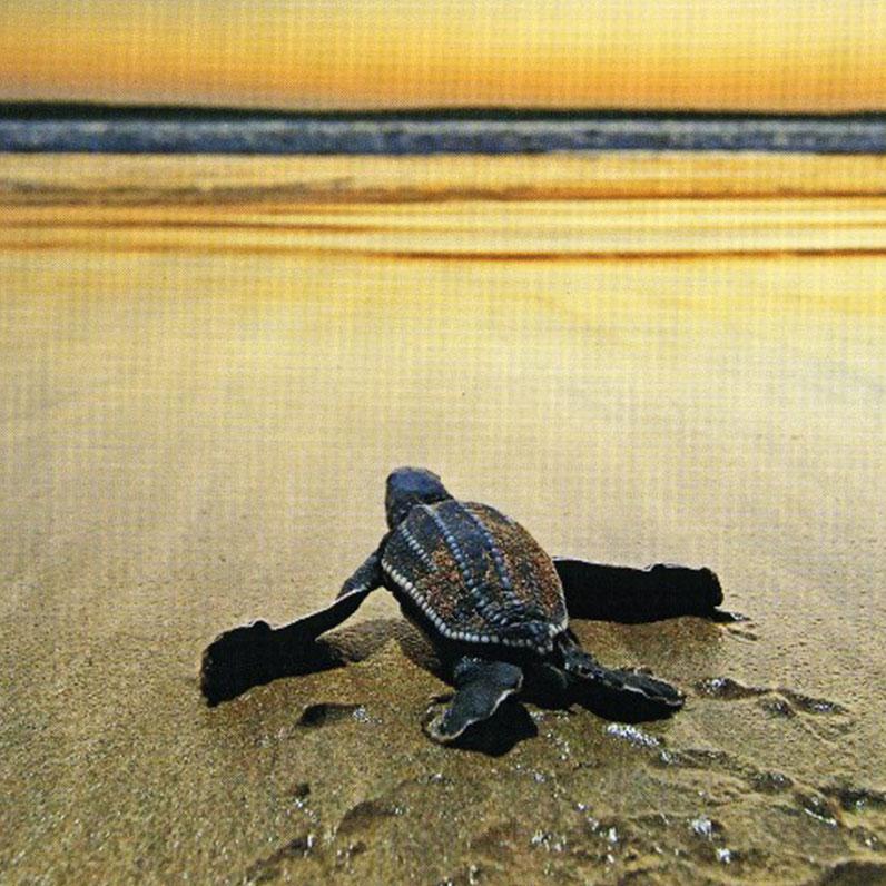 Playa Grande Beach of Costa Rica